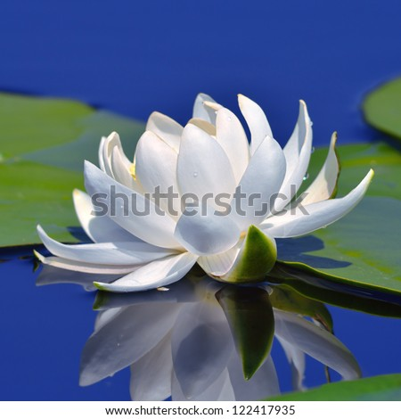 White lily on the lake against a blue water - stock photo