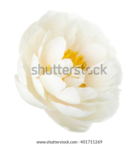 White lily prominent peony flower isolated on white background - stock photo