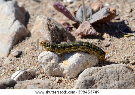 White Lined Sphinx caterpillar in Death Valley