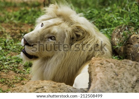 White Lion - stock photo