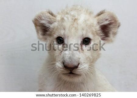 White lion cub - stock photo