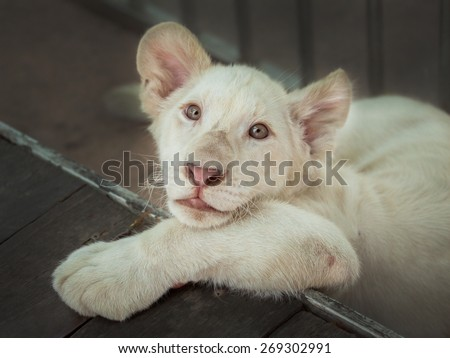 White lion cubs - stock photo