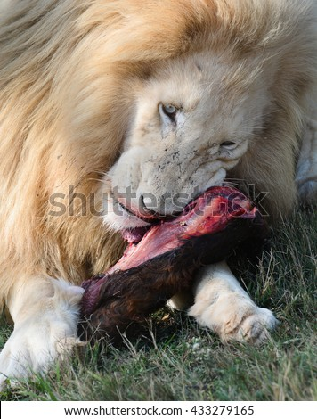 What do white lions eat - photo#48