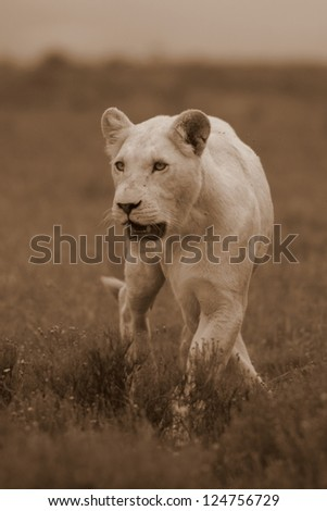 White lion in sepia,in her stride at Pumba game reserve South Africa. - stock photo