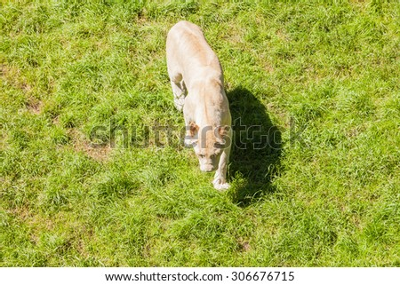 White lion photographed from above - stock photo