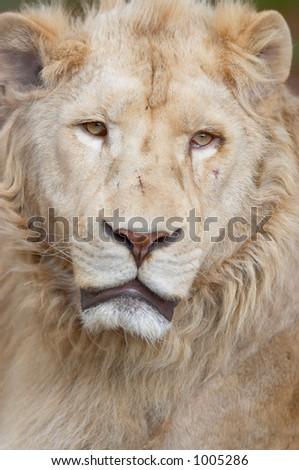 white lion portrait - stock photo