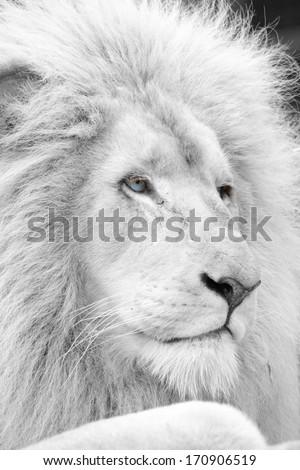 White lion profile in black and white - stock photo