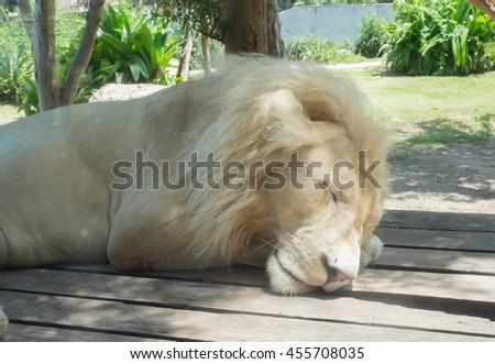 White lion sleeping  - stock photo