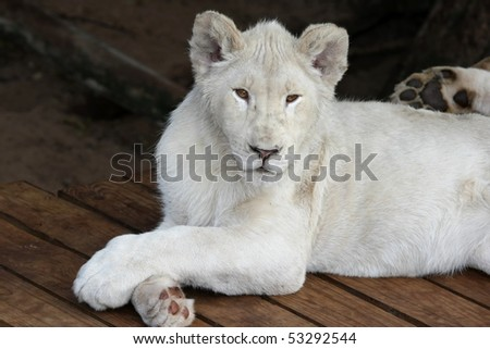White lion with it's legs crossed in a casual pose - stock photo