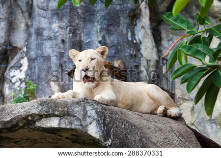 white liones.  Lion - stock photo