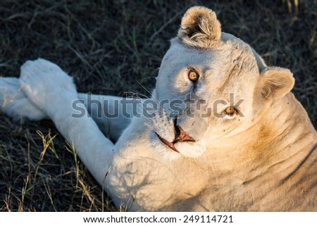 White lioness - albino lies under sunset autumn sun in one of the parks for wildlife. Big bright eyes and beautiful fur - stock photo