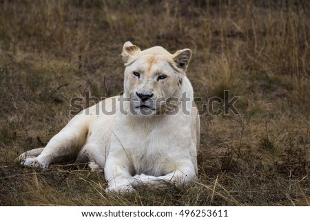 White lioness is resting after the hunt