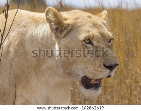 White Lioness Walking Through the Bush With Her Mouth Open - stock photo