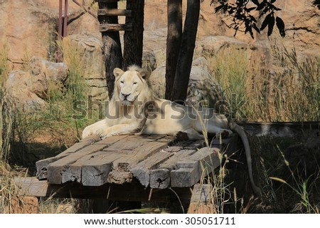 White lions in the zoo sunbathing. - stock photo