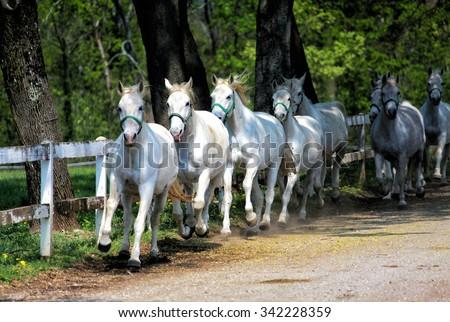 White Lipizzan Horses running - stock photo
