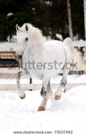 white Lipizzaner horse runs gallop in winter season - stock photo