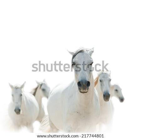 white lipizzianer horses - stock photo