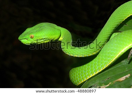 White-lipped Pit Viper in Khao Yai National Park, Thailand