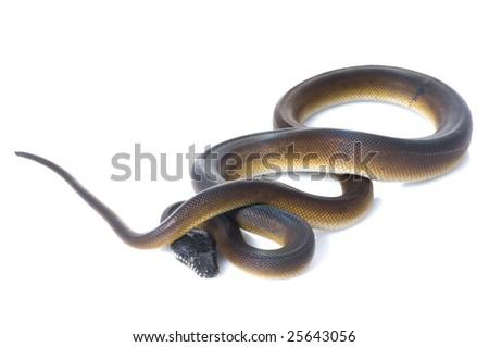White Lipped Python (Leiopython) - stock photo