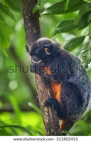 White-lipped tamarin, monkey with red belly sitting in a tree.