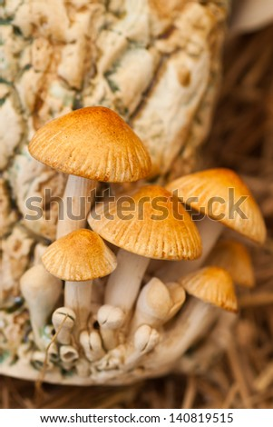 White-lipped tree frog on a toadstool or mushroom hiding for the rain - stock photo