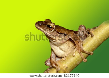 White lipped Tree Frog stay on branch in summer at night - stock photo