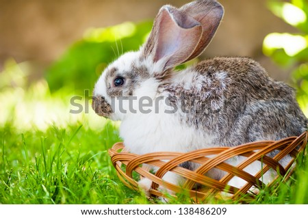 White little bunny sitting in a wooden basket, while at a animals rural farm - stock photo