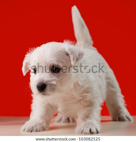 white little dog in red background - stock photo
