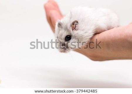 White little hamster on the hand on white background - stock photo