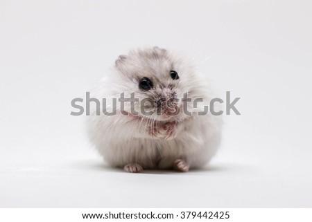 White little hamster on white background - stock photo