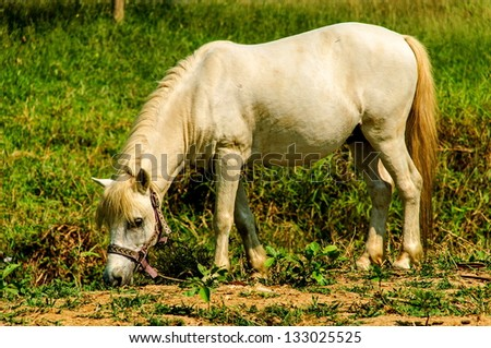 white little horse is eating the grass is in the farm - stock photo