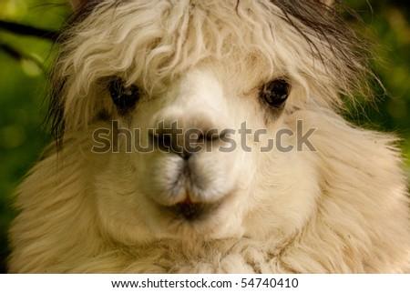 White llama, close up - stock photo