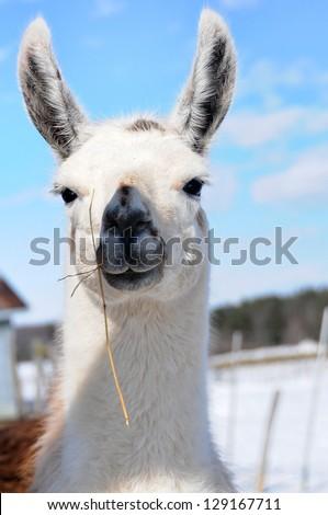 White llama, close up, in winter. Very cute animal - stock photo