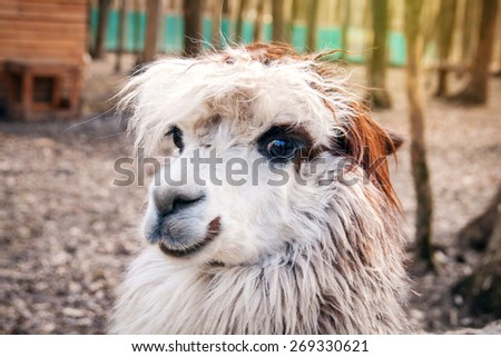 White llama close up in zoo - stock photo