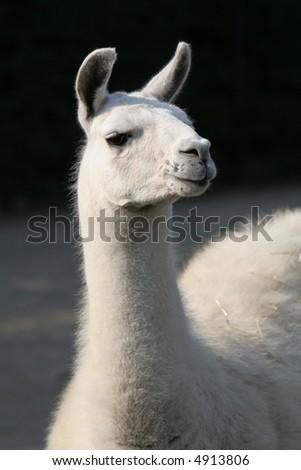 White llama, close up, nice fuzzy animal. Very cute animal - stock photo