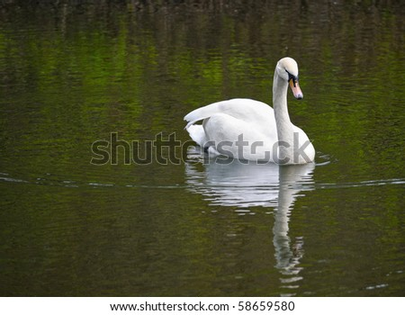 White lonely swan in pond - stock photo