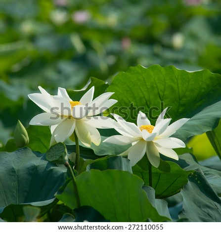 white lotus blooming in pond - stock photo