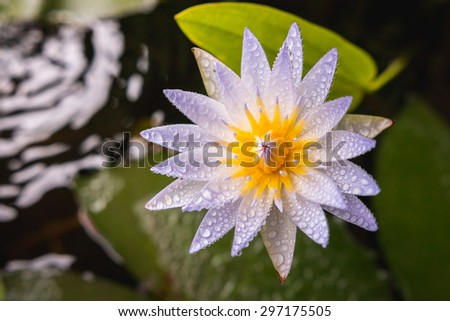 white lotus flower in tub with water droplets