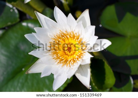 White lotus flower or water lily floating - stock photo