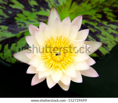 White lotus flower with green leaves background in the lake - stock photo