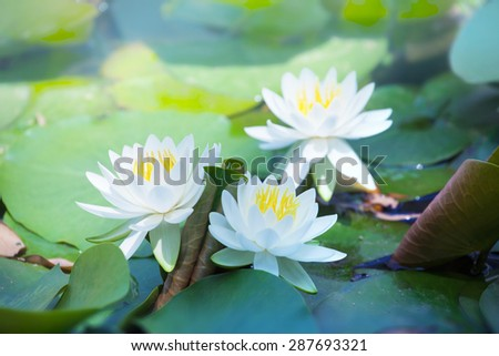 White Lotus flowers blooming on a quiet pond.  - stock photo
