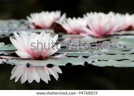 White lotus flowers on pond close stock photo royalty free white lotus flowers on pond close stock photo royalty free 94768819 shutterstock mightylinksfo