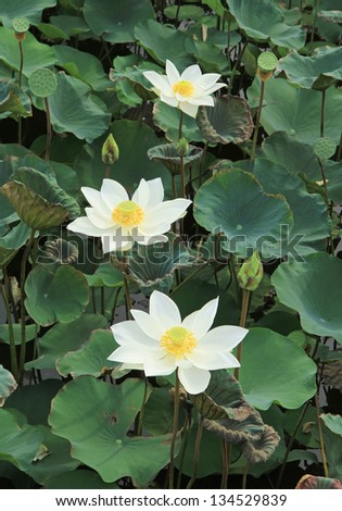 White lotus flowers with green leaves background in the lake - stock photo