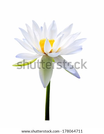 White lotus on white background.  - stock photo
