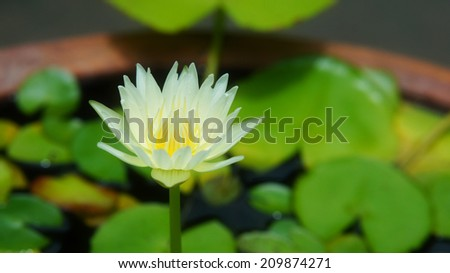 White lotus or water lily above the water surface and leaves - stock photo