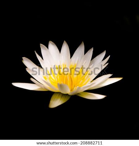 white lotus or white water lily - stock photo