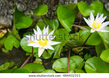 White lotus, Water lily in garden pond