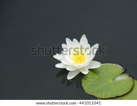 White lotus,white of outer petals and yellow of inner petals  - stock photo