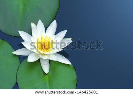White lotus with green leaves on blue water. - stock photo