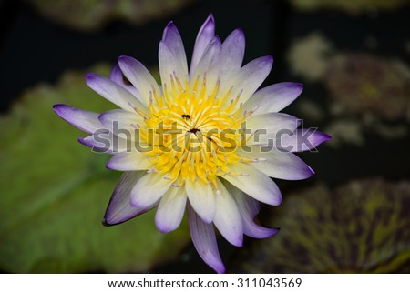 white lotus yellow pollen flower with green leaf on water background - stock photo